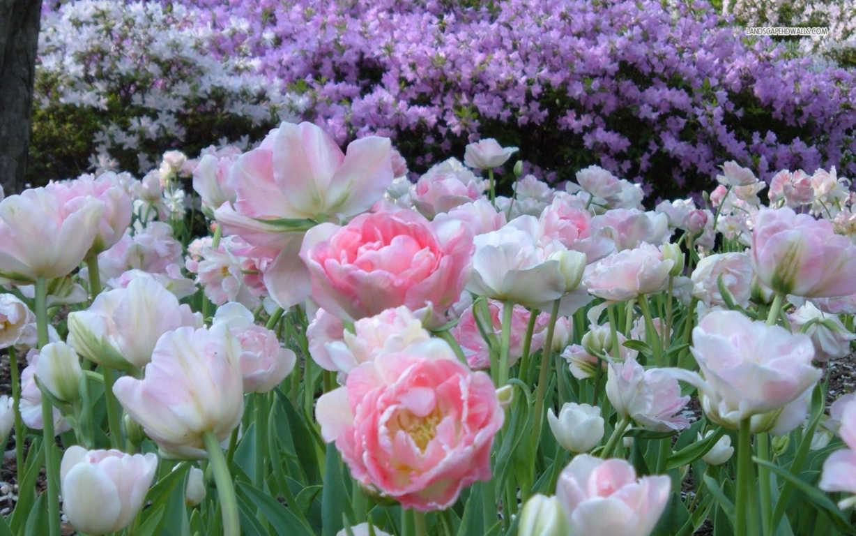 hinh nen hoa mau don