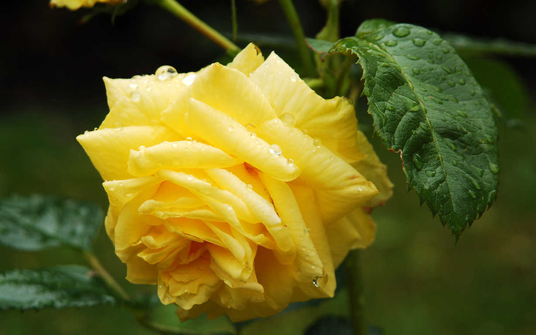 hoa hồng vàng h19