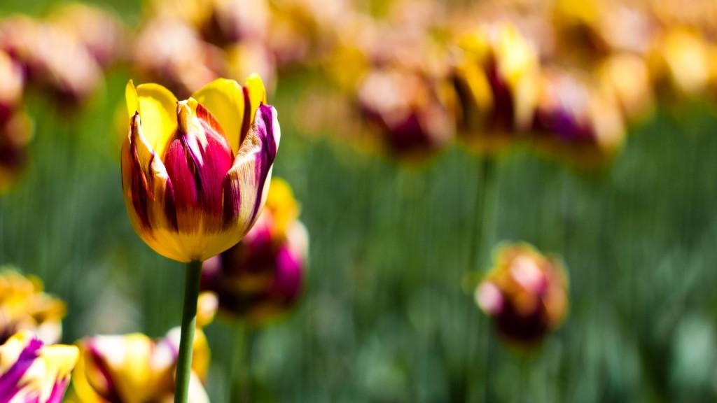 hinh nen hoa tulip 9049354
