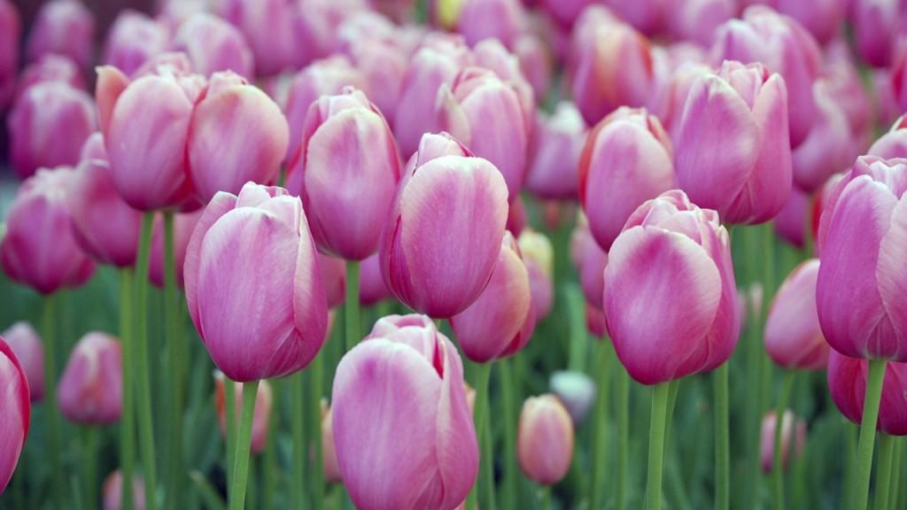 hinh nen hoa tulip 56324596