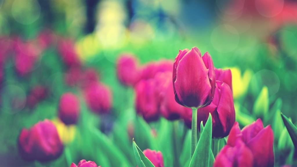 hinh nen hoa tulip 7823165