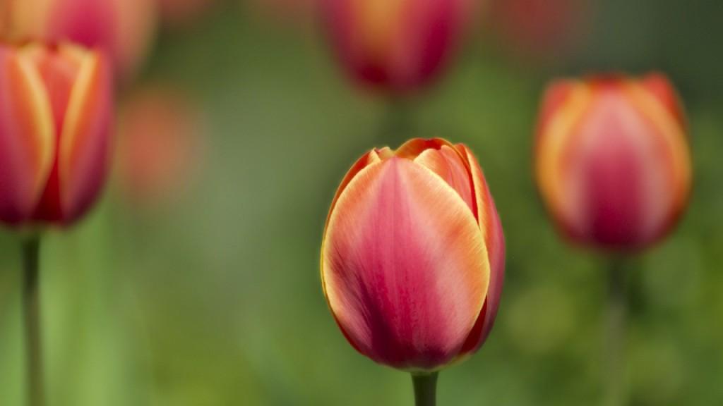 hoa tulip 8225625