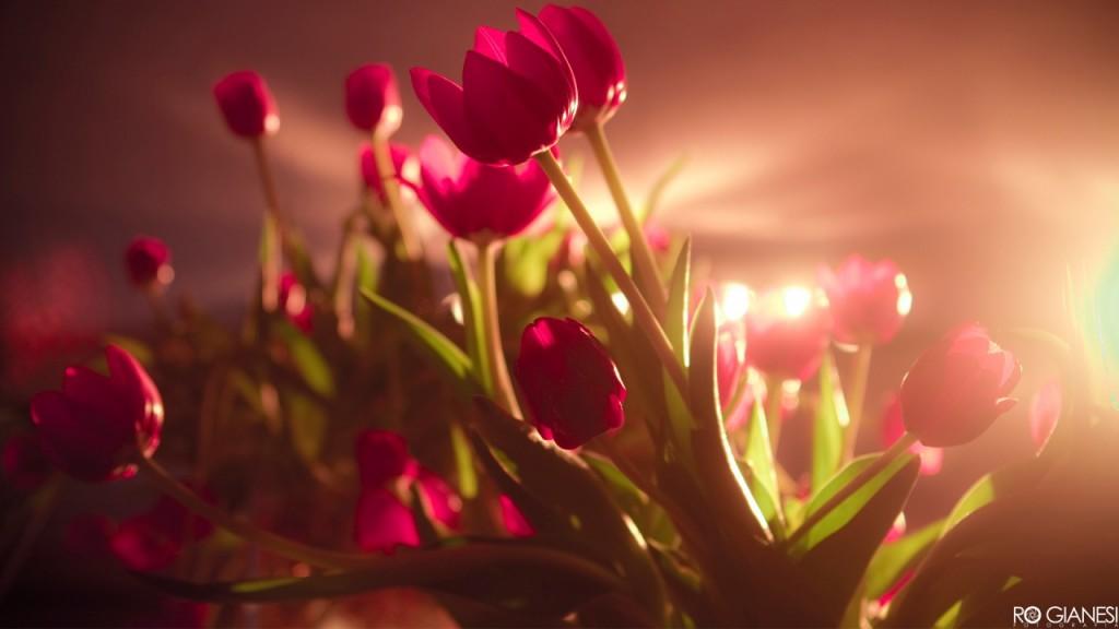 hinh nen hoa tulip 50685421