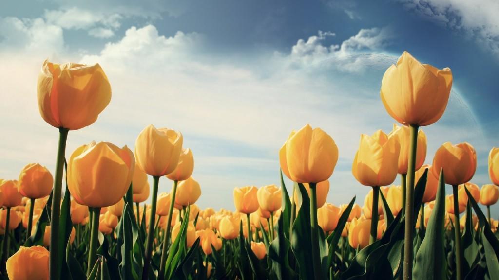 hinh nen hoa tulip 6028936