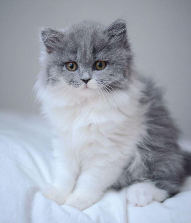 Chú mèo con này có lưng màu xám nhưng bụng trắng tinh