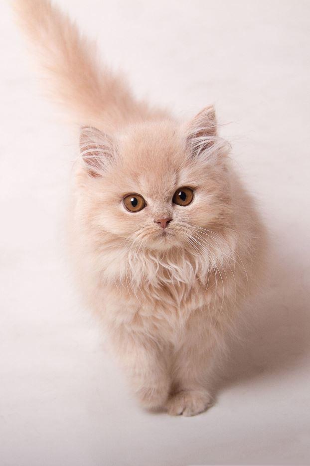 Mèo lông dài Anh chân ngắn nhưng chắc chắn