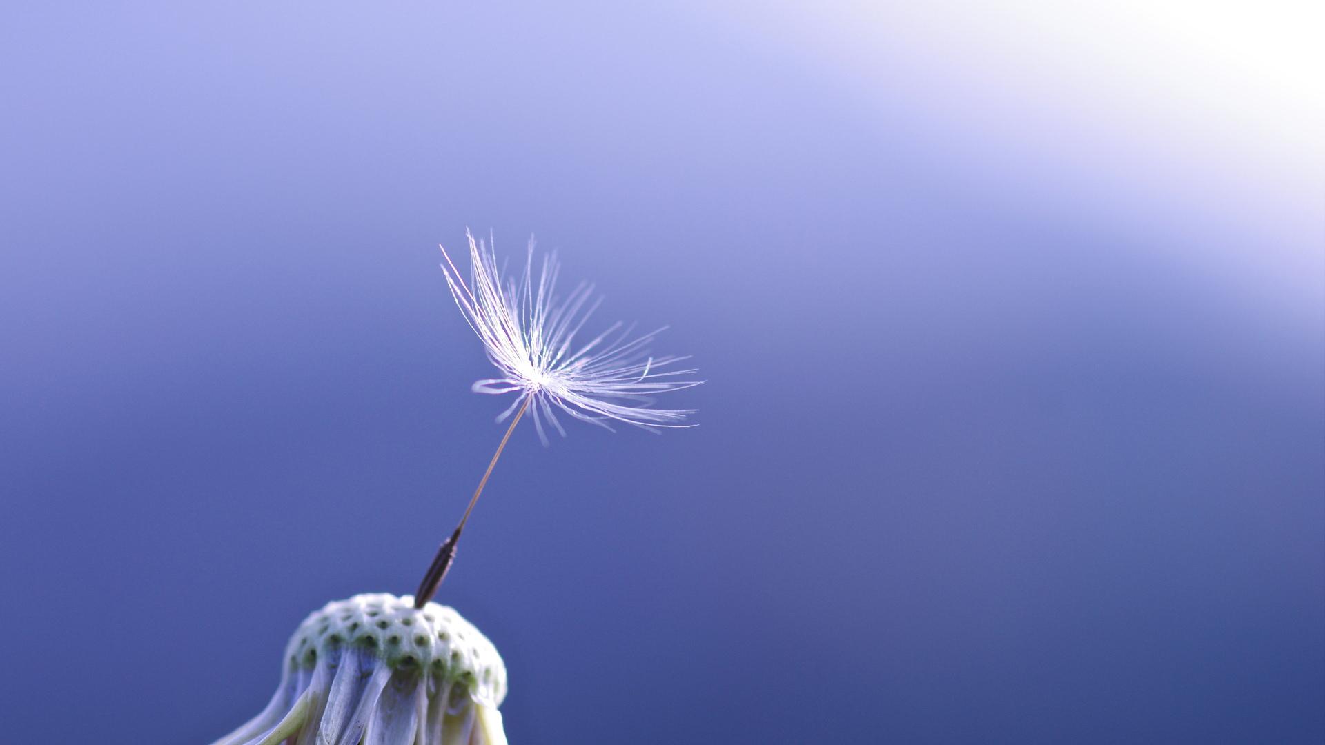 Một ảnh nền hoa bồ công anh rất đẹp nữa