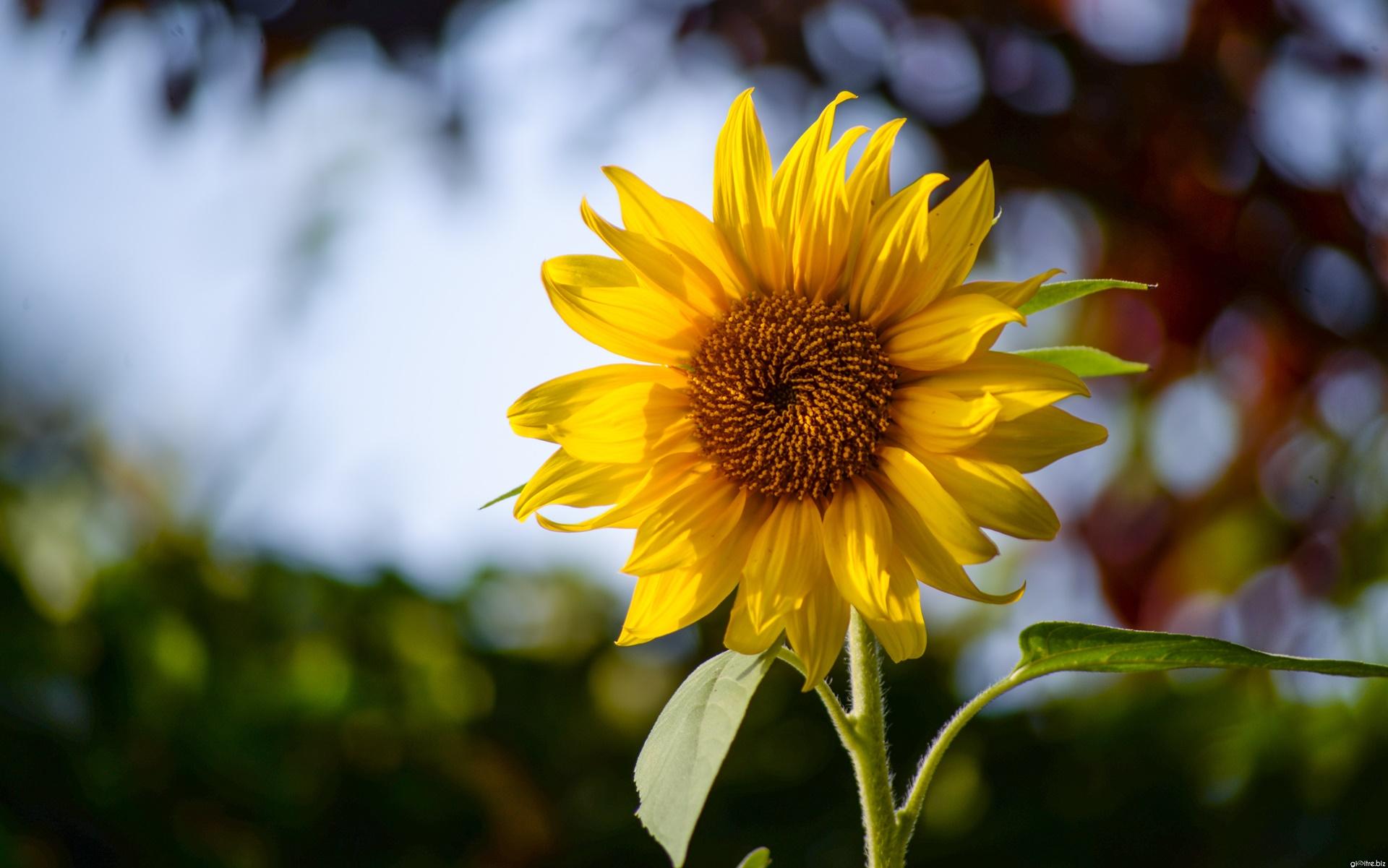 Tải về ảnh nền hoa hướng dương