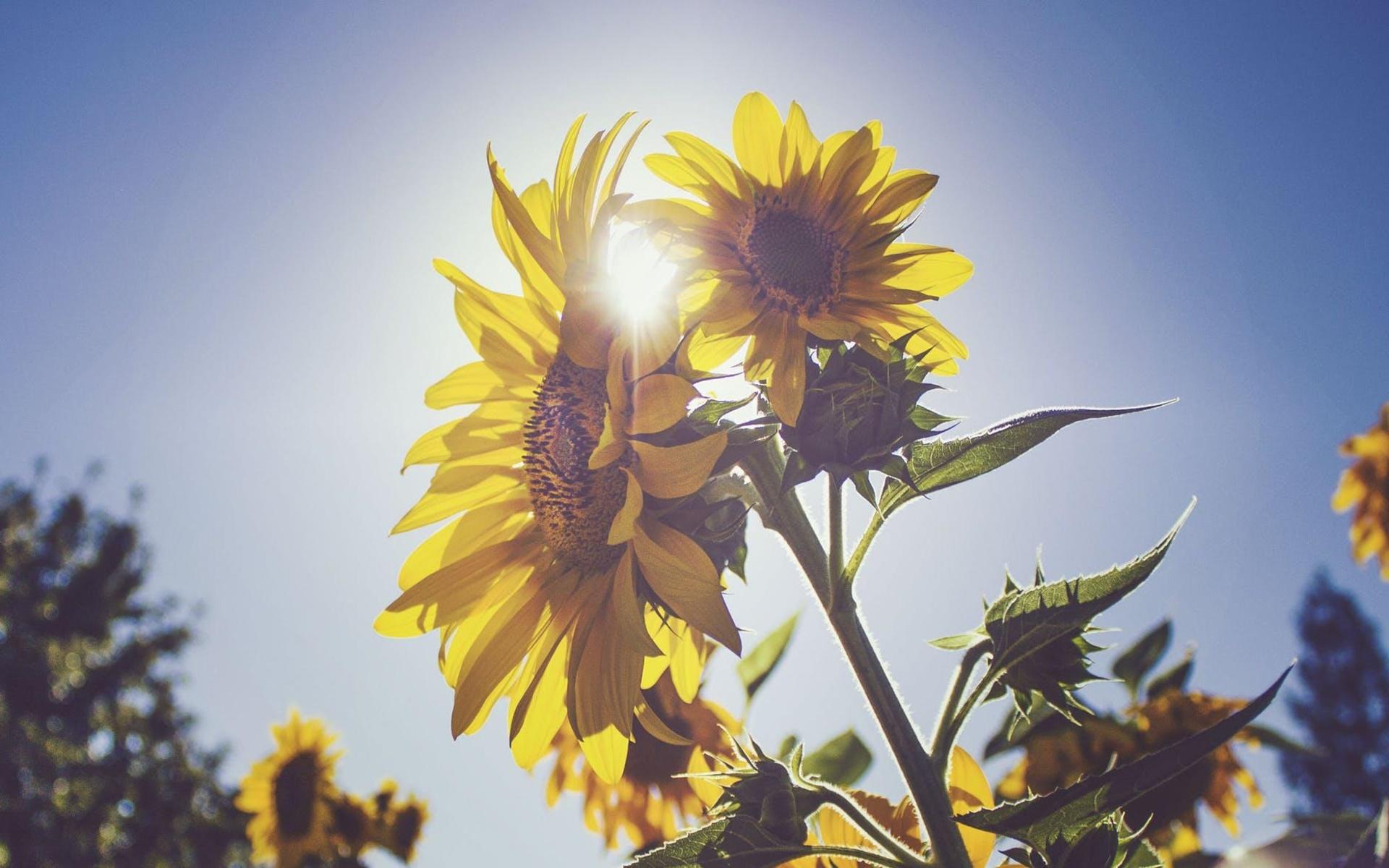 Hoa hướng dương dưới ánh mặt trời