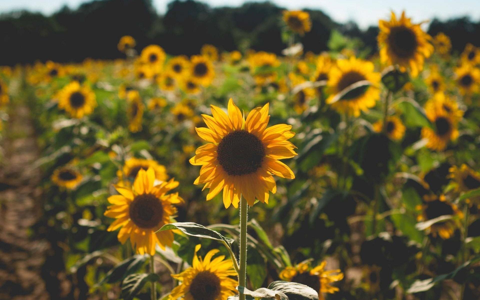 Hoa hướng dương phủ một sắc vàng