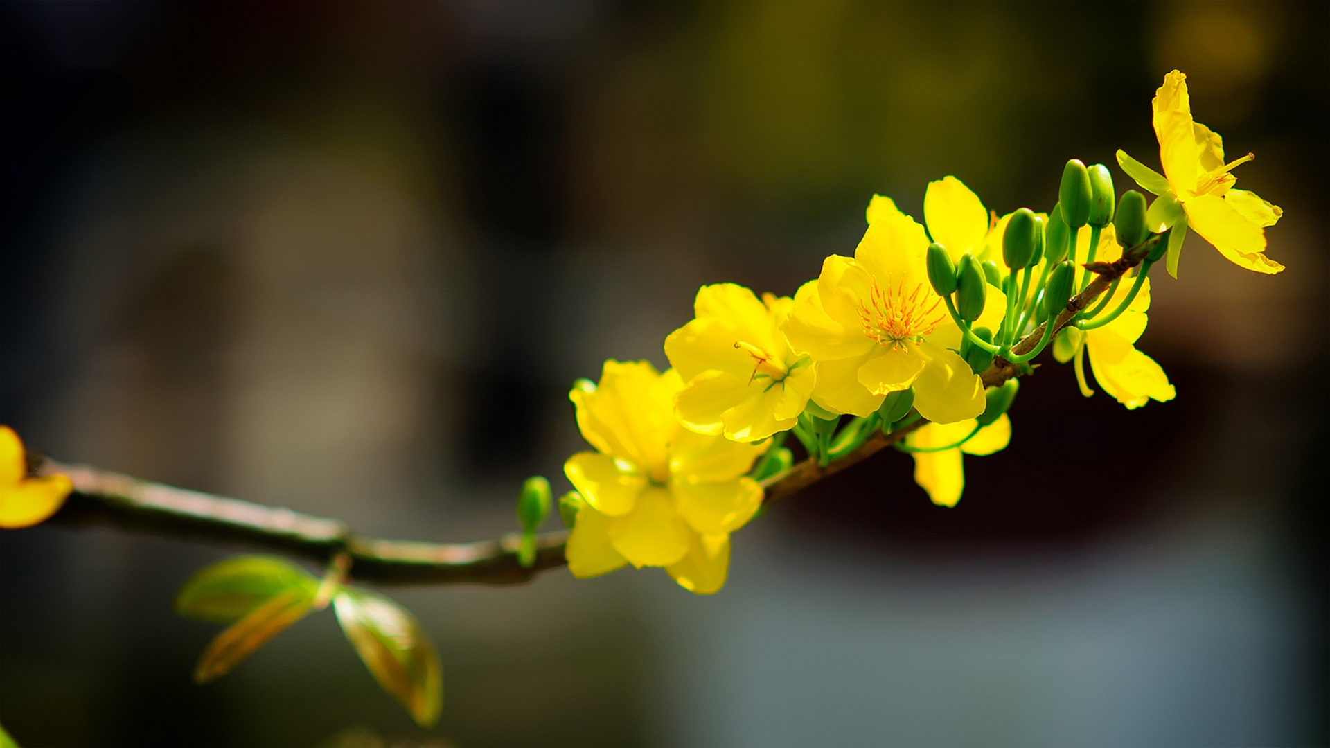 Hoa mai cũng xuất hiện mỗi dịp xuân về
