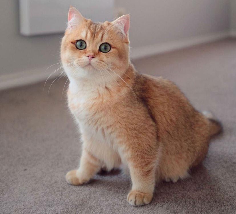 Đuôi mèo Anh lông ngắn cũng khá dài