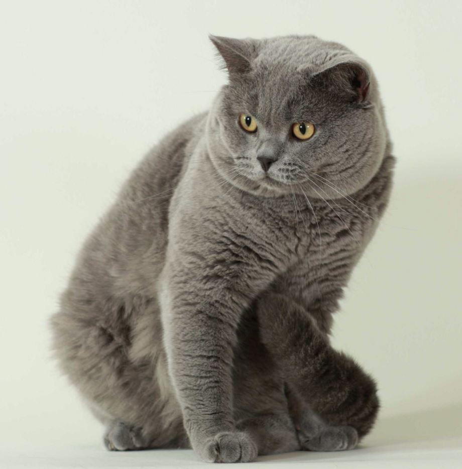 Tai của mèo Anh lông ngắn không dài
